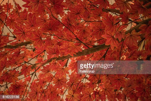 Background of Asian red maple leaves : Stock Photo