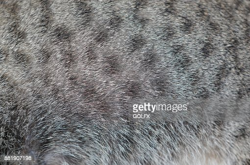 Background of cat texture. Close up grey color with black stripes cat fur. : Stock Photo