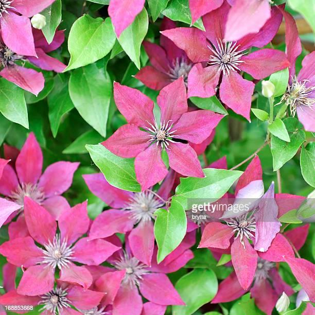 Sfondo di clematis fiori in piena fioritura