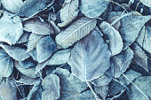 Background of fallen leaves covered with frost and snow. Toned and blue
