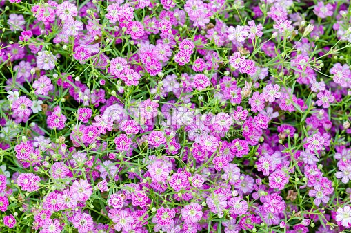 Background of little pink flowers blooming bush stock photo thinkstock background of little pink flowers blooming bush stock photo mightylinksfo