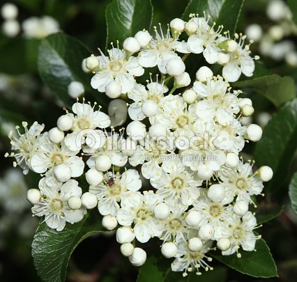 Background of little white flowers blooming bush stock photo background of little white flowers blooming bush stock photo mightylinksfo Images