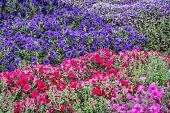 background of petunia flowers - different varieties  in a garden