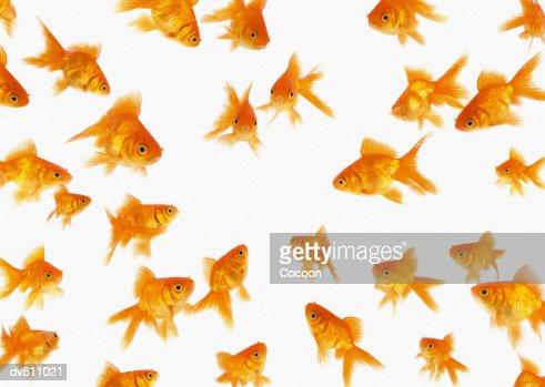 Background Showing a Large Group of Goldfish Looking towards the Centre of the Image : Stock Photo