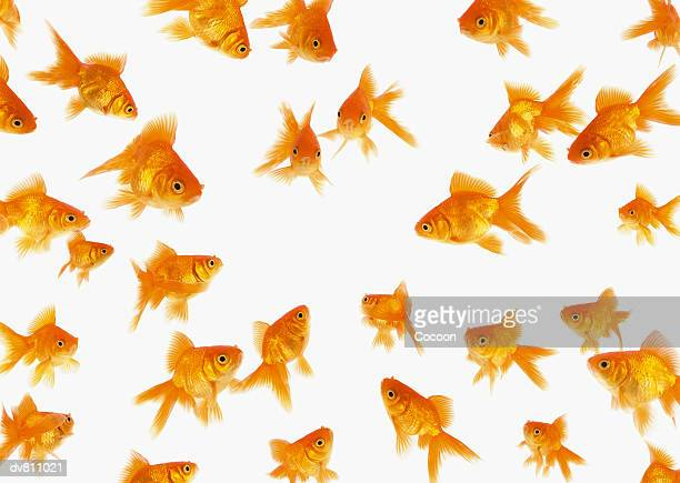 Background Showing a Large Group of Goldfish Looking towards the Centre of the Image
