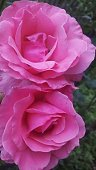 Pink rose flower with contrast setting is perfect for thr background image in postcards, screens and giftcards.