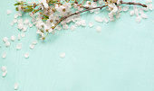 Amazing background With white cherry blossoms lying on turquoise texture. Beautiful Web Banner With Copy Space. Card for invitation, congratulation.
