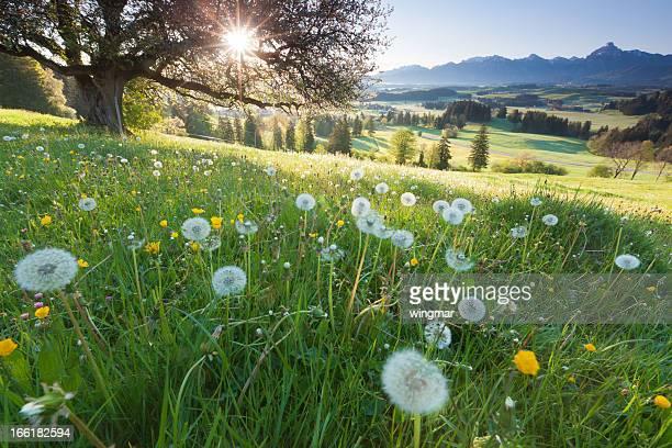 Retroilluminazione vista attraverso Melo, prato estivo in Baviera, Germania