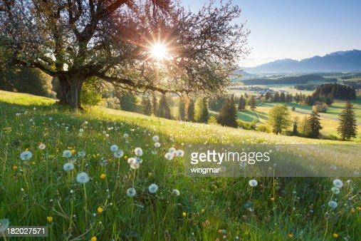 Luz de fundo vista através da macieira, Prado de Verão na Baviera, Alemanha