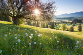 'backlight view through apple tree, summer meadow in bavaria, ger'