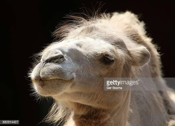 Backlit Bactrian Camel Portrait