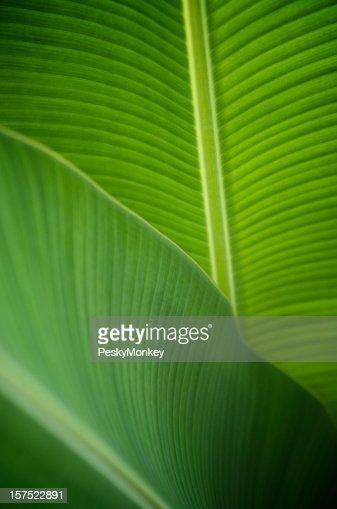 Backlit Banana Leaf Close-Up Background