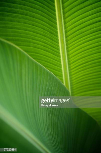 Backlit Banana Leaf Close-Up Background