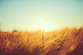 Backlit Barley Stalk
