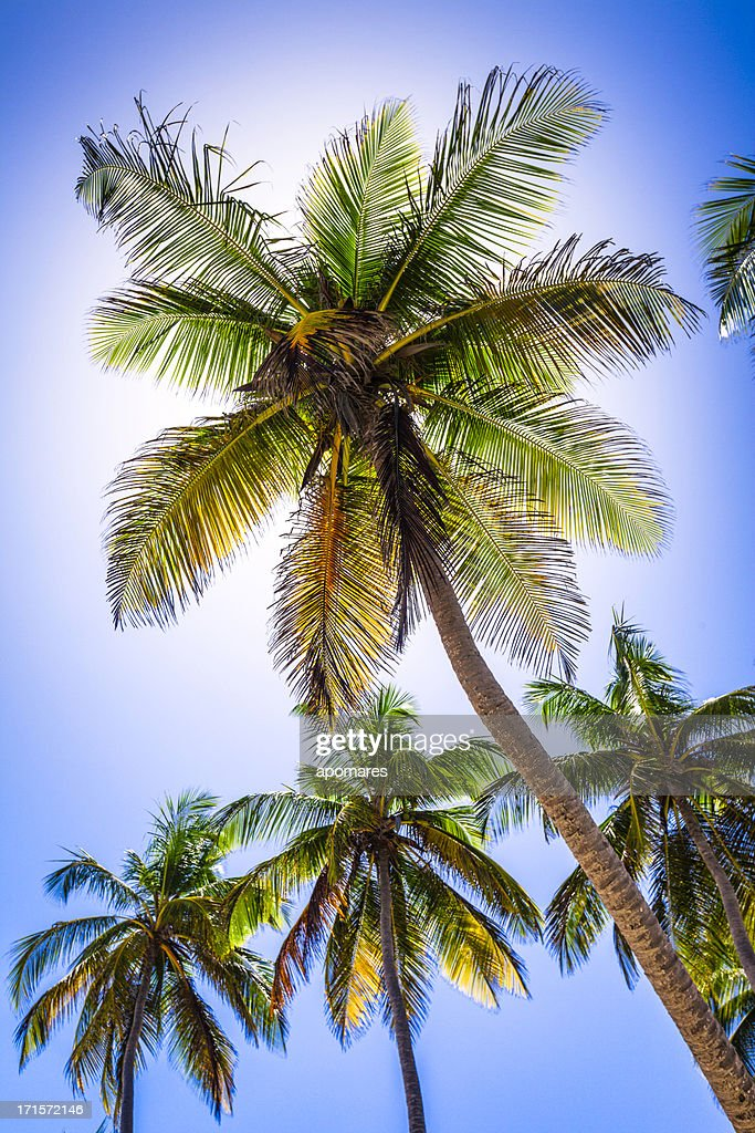 Backlit coconut trees : Stock Photo