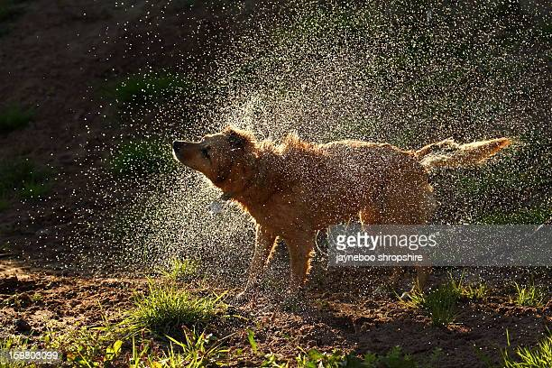 Backlit Dog Shaking Mass of Water droplets