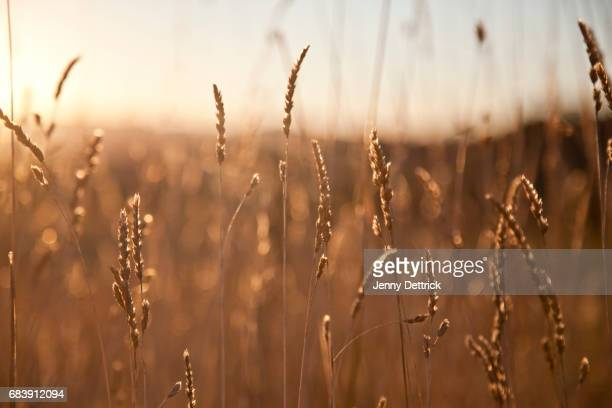 Backlit grass at sunset