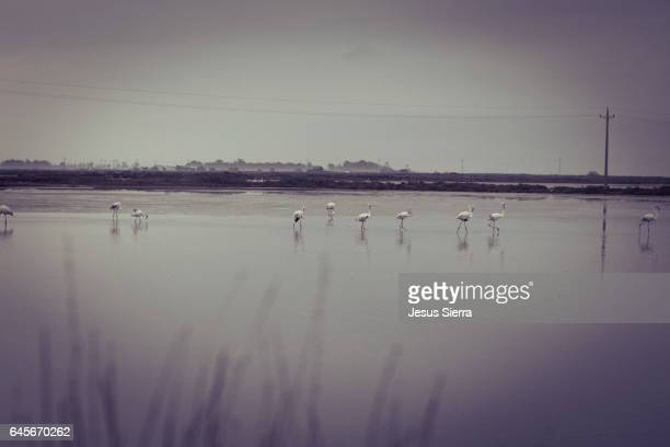 Backlit group of flamingoes at Tancada Lagoon. Ebro River Delta Natural Park, Tarragona province, Catalonia, Spain