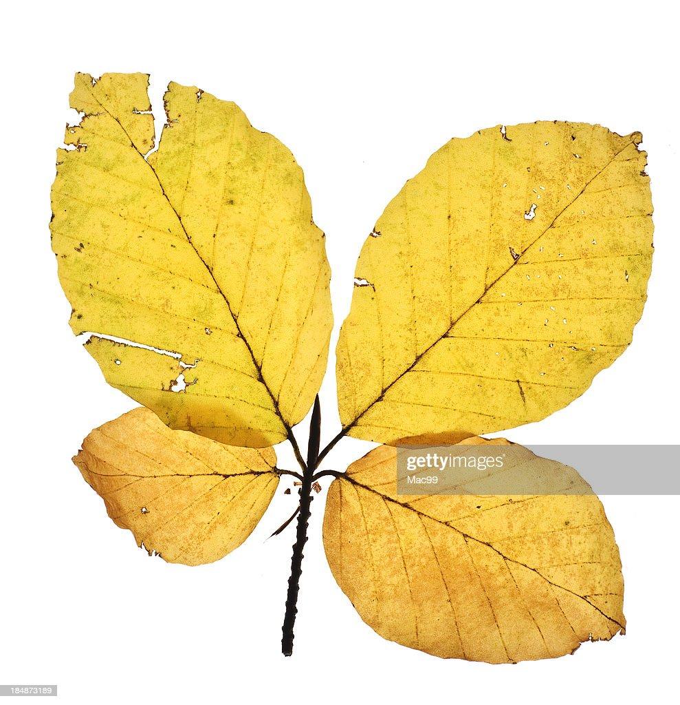 Backlit Leaf of beech