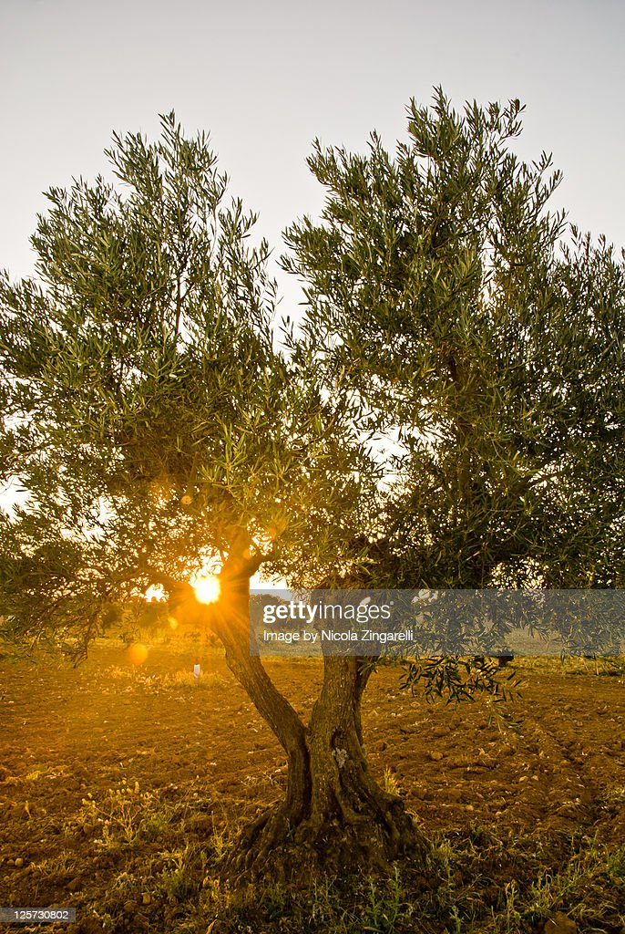 Backlit olive tree with flare