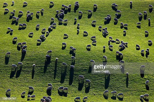 Backlit sheep (Ovis aries) graze steep hillside in the Catlins, South Island, New Zealand