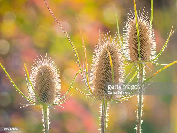 Backlit teasel weeds, Wasatch Cache National Forest, Wasatch Mountains, Utah, USA