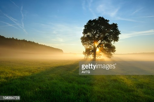 Backlit Tree in Morning Mist on Meadow at Sunrise : Stock Photo