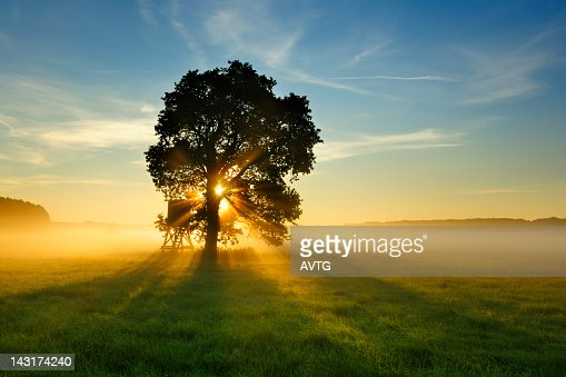 Backlit Tree in Morning Mist on Meadow at Sunrise