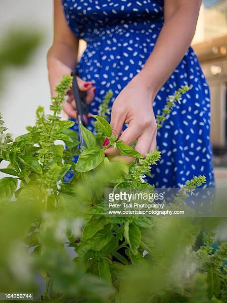 Backyard Gardening - Home Grown Basil