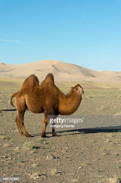 Bactrian camel at the Hongoryn Els sand dunes in the Gobi Desert in southern Mongolia