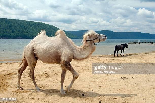 Bactrian camel -Camelus bactrianus- on the Angara river bank, Baikal, Siberia, Russian Federation, Eurasia