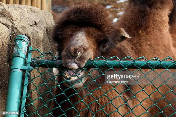 Bactrian Camel chews on the fence at Lincoln Park Zoo in Chicago on January 19 2015 in Chicago Illinois