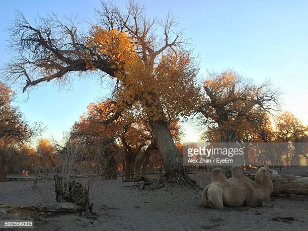 Bactrian Camel Resting On Field By Autumn Trees Clear Sky
