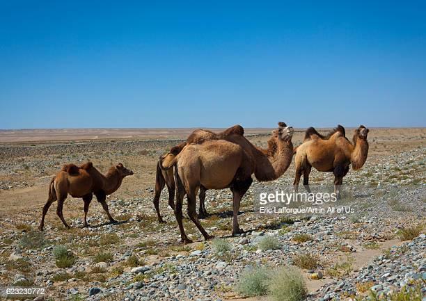 Bactrian camel Yecheng Xinjiang Uyghur Autonomous Region China on September 19 2012 in Yecheng China