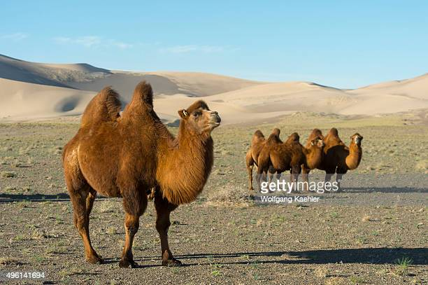 Bactrian camels in front of the Hongoryn Els sand dunes in the Gobi Desert in southern Mongolia
