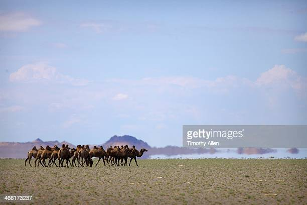 Bactrian camels in Gobi desert mirage