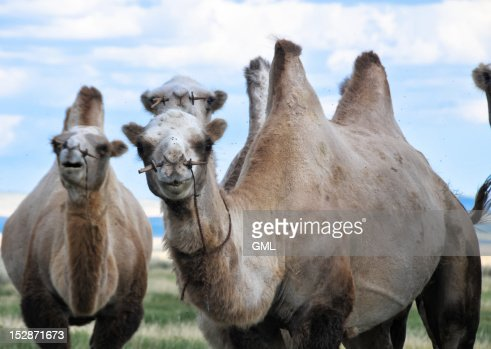 Bactrian camels : Stock Photo