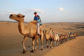 Bactrian camels walk on the dunes of Xiangshawan Desert also called Sounding Sand Desert on July 20 2013 in Ordos of Inner Mongolia Autonomous Region...