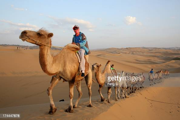 Bactrian camels walk on the dunes of Xiangshawan Desert also called Sounding Sand Desert on July 20 2013 in Ordos of Inner Mongolia Autonomous Region...