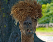 An Alpaca with a silly looking hairstyle, in front view, close up of the animal's head looking at the camera.