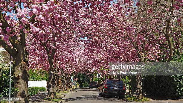 Bad Kreuznach, blooming cherry trees, Cauerstraße