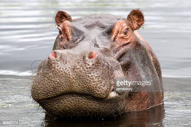 Bad Tempered Hippo