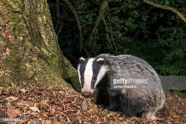 Badger cub in oak woods