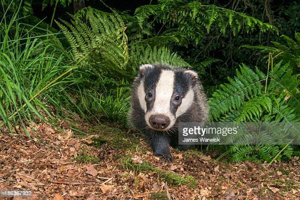 Badger cub in oak woods
