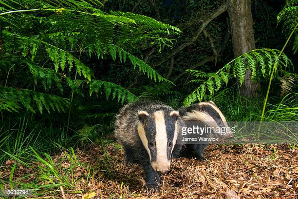Badger cub under bracken in oak woods