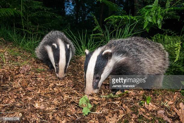 Badger cubs foraging in oak