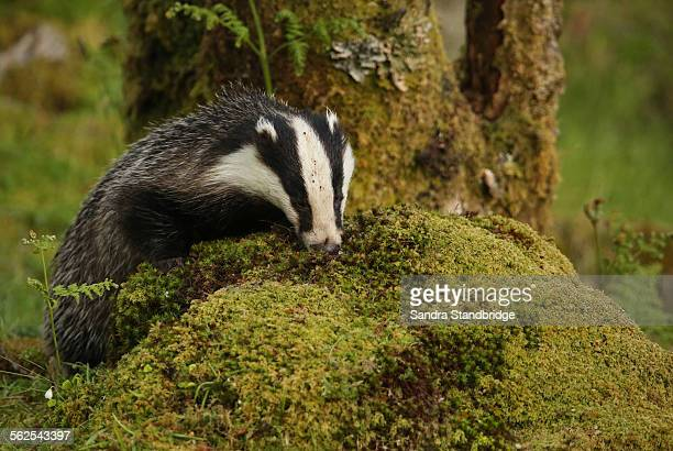 A badger looking for food