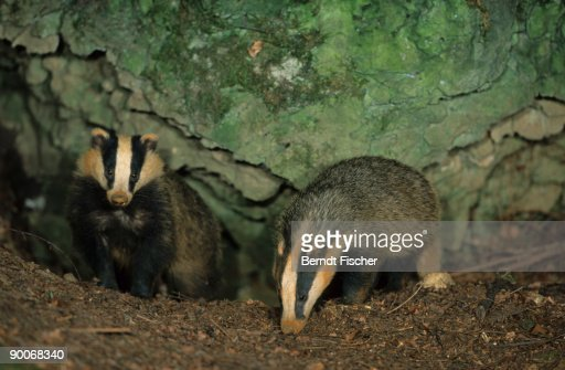 badger: meles meles  two young (6 mths) coming out of den, o ne sniffing : Stock Photo