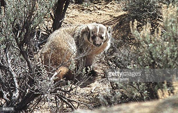 A badger peers through the brush April 19 2001 in Sublette County WY Environmentalists are concerned that the recent surge toward exploration and...