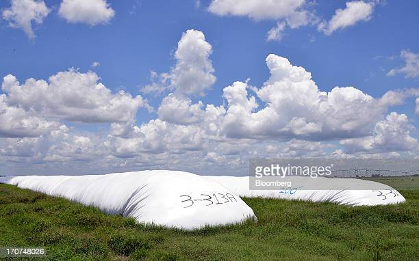 Bagged sorghum silage used in cattle feed is stored at JM Larson Dairy 3 in Okeechobee Florida US on Friday June 14 2013 The US House of...